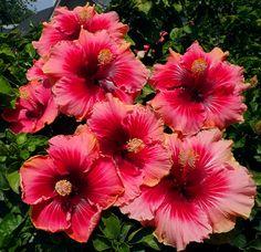 Hidden Valley Hibiscus - Exotic, Tropical Hibiscus ....... big variety of hibiscus to buy