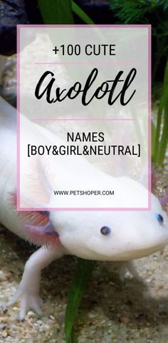 AXOLOTL AS PETS Do you know that an axolotl is a special type of fish often known as walking fish? Animals like axolotls are now being adopted as pets! Axolotl Care, Axolotl Pet, Cute Pet Names, Les Reptiles, Amphibians, Reptile Room, Fish Feed, Pet Breeds, Types Of Fish