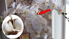 Geniální způsob jak znovu rozkvést orchidej díky 3 ingrediencím! Během několika dnů pokvete jako nikdy předtím! | Vychytávkov Plants, Plant, Planets