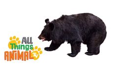 BLACK BEARS: Animals for children. Kids videos. Kindergarten | Preschool...