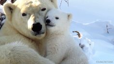 Paula nuzzles Patty after a bear-mare. (That's the polar bear version of a nightmare. Duh.)