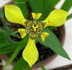 Yellow Walking Iris, neomarica longifolia...found this in my front yard!