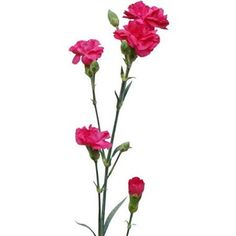 Hot Pink are a cerise variety of multi-headed Spray Carnations. 60cm tall & wholesaled 10 stems per wrap.