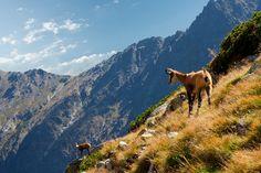 Kamzíky vo Vysokých Tatrách
