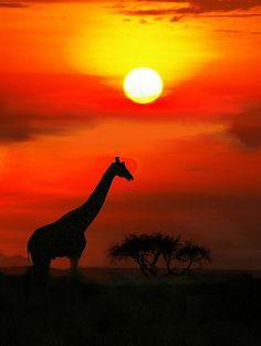 Giraffe Masai Mara Sunset, Kenya