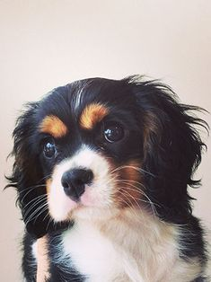 Cavalier King Charles Spaniel...one of my favorite dogs!