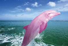 An incredible pink dolphin has been spotted in a lake in Louisiana The albino bottlenose dolphin has reddish eyes and is pink all over. He was seen for the first time in Lake Calcasieu, a saltwater estuary in southwestern USA, when he was young but, recently, has appeared more often.