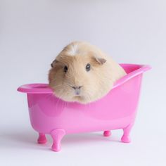 Bask In The Glory That Is Booboo The Guinea Pig, who is Spa ready!! #cute @huffingtonpost