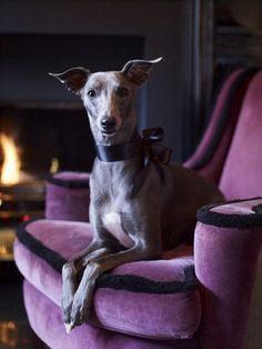 velvet dog for a velvet chair