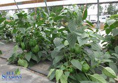 Wonderful Fresh Green Peppers!