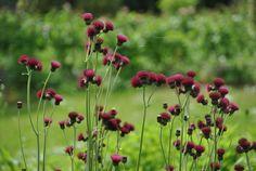 Plum Thistle -- Cirsium rivulare 'Atropurpureum'