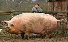 Anything this large is intimidating, even a giant pig. I guess at least that's a lot of bacon! Fat Animals, Large Animals, Animals And Pets, Funny Animals, Animal Facts, Animal Memes, Beautiful Creatures, Animals Beautiful, Pigs