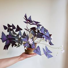 Fifteen Gardening Recommendations On How To Get A Great Backyard Garden Devoid Of Too Much Time Expended On Gardening Oxalis Triangularis, Triangle Pourpre Potted Plants, Garden Plants, Indoor Plants, House Plants Decor, Plant Decor, Oxalis Triangularis, Belle Plante, Decoration Plante, Interior Plants