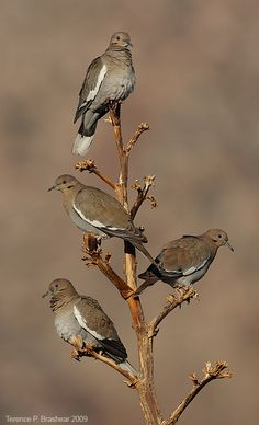 White-winged Dove in Yucca, by Terence P. Brashear
