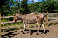Members of the group Hudson Valley Donkey Walkers take a herd of miniature donkeys for a summer stroll. Mr. Stiert's herd includes a zebra-donkey hybrid named Stripes.