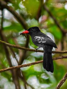 Black Nunbird, Monasa atra, puffbird family. It is found in north-central S A in Guyana/ Suriname/ French Guiana including the Guiana Shield; also E and SE Venezuela in the E Orinoco River Basin, and the Amazon Basin of NE Brazil
