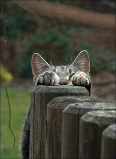 I hiding, u find me. You are in the right place about Feline dessin Here we offer you the most b Cute Cats And Kittens, I Love Cats, Crazy Cats, Cool Cats, Kittens Cutest, Baby Animals, Funny Animals, Cute Animals, Doja Cat