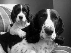 English Springer Spaniel & Pup ~ Classic Look