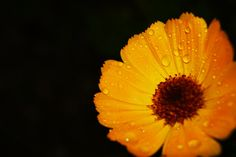 Flower, Dew - OGQ Backgrounds HD