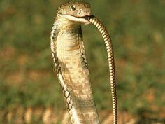 King Cobra Eating Snake