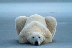polar bear Cute Baby Animals, Animals And Pets, Funny Animals, Wild Animals, Funny Cats, Beautiful Creatures, Animals Beautiful, Photo Ours, Animal Pictures