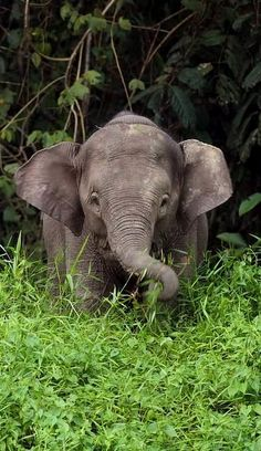 Young Borneo Pygmy Elephant (by Daniel Trim on Flickr)
