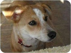 Pebbles, a female Pembroke Welsh Corgi Mix available for adoption in Nampa, Idaho.