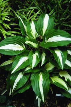 Hosta Night before Christmas (J. Machen 94) : Hosta 'Night Before Christmas' is one stunningly beautiful hosta! If you want to make visitors stop in their tracks and drop to their knees, here i...