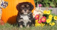 Keystone Puppies has a puppy finder feature setting you up to find and buy a dog perfect for your home. Havanese Puppies For Sale, Puppy Finder, Buy A Dog, Puppy Love, Dogs, Animals, Animaux, Doggies, Animal