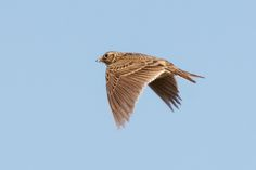 Skylark in Flight | by Unintended_Keith