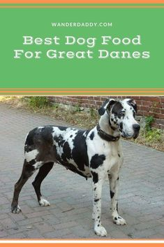 One very distinctive trait of the great Dane, despite how big it is, it that it is one of the gentlest dogs on the planet. It is loving, caring, playful, and indeed man's best friend. This dog is huge and is energetic, meaning it would need a lot of food to maintain that level of energy.