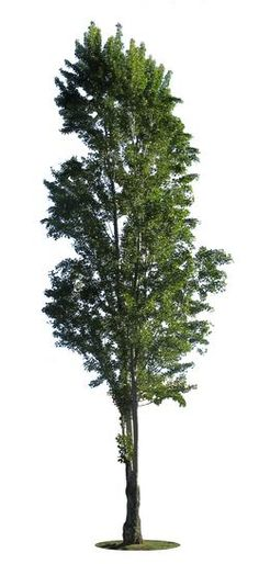 Cutout photo of black poplar tree (Populus nigra), with transparent background.  Fr: Peuplier; Pt: Choupo negro; Es: Álamo negro.  Check for new free cutout tree images in https://cutout-trees.com.