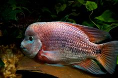 The Cichlid Room Companion • View topic - Today in the Fishroom 11 ...