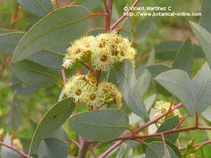 El cultivo del eucalipto