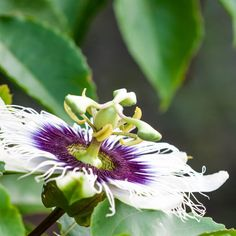 Passion Flower for Hot Flashes, Depression & Better Sleep by @draxe