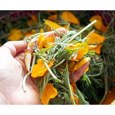 California Poppy Herbal Materia Medica // by Rebecca Altman  #calpoppy #californiapoppy #herbalife #herbalmedicine #herbalist #herbalism #medicinemaking #foraging