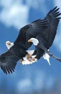 Bald eagles in flight Eagle Pictures, Bird Pictures, Birds Of Prey, Beautiful Birds, Animals Beautiful, Types Of Eagles, Animals And Pets, Cute Animals, Eagle Art