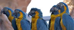 Macaws parrots bred in Cornwall are going to be flown to Bolivia    http://www.alwa.travel/club-de-los-pumas/blog