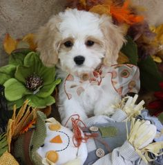 Cavachon And Cavapoo Puppies For Sale — Foxglove Farm Cavapoo Puppies For Sale, Cavachon Puppies, Dogs And Puppies, Puppy Teething, New Puppy, Cuddling, Best Dogs, Cute Pictures, Your Dog