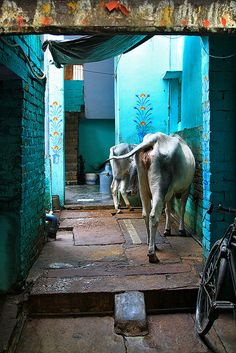 INDIA: Sacred Street Cows