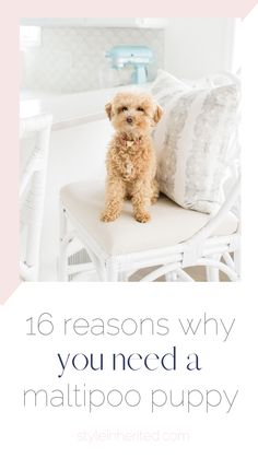 Want a Maltipoo Puppy? Here are 16 reasons to add one to the family. Ranger my apricot maltipoo puppy is the perfect side-kick. Find out more about her and her reputable breeder's information here! #maltipoo #teacuppup #teddybearpuppy photo credit: Mindy Briar
