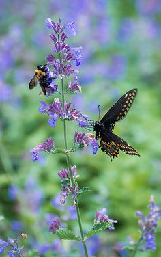 Bee and Black Swallowtail Butterfly.