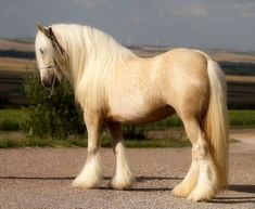 beautiful draft horses - Google Search