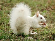 from Olney, IL.Home of the white squirrels. My mom has one that lives in the pear tree in her front yard.