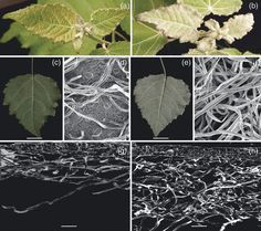 Endogenous overexpression of Populus increases trichome density, improves insect pest resistance, and impacts plant growth Insect Pest, Plant Growth, Plant Leaves, Insects, Journal, Plants, Plant, Journals, Planting