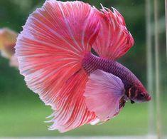 betta rosa