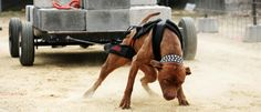 train like a pitbull