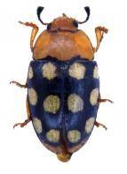 Mycotretus polyophtalmus Lacordaire, 1842