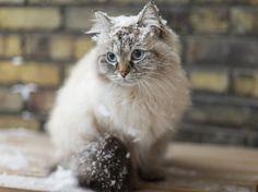 Aucun chat n'est complètement hypoallergénique.Toutefois, certaines races sont plus recommandées pour les personnes allergiques. En voici quelques-unes.
