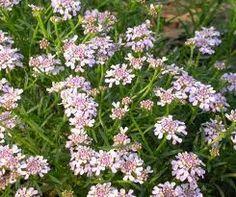 solanum jasminoides   fleurs   pinterest   en passant